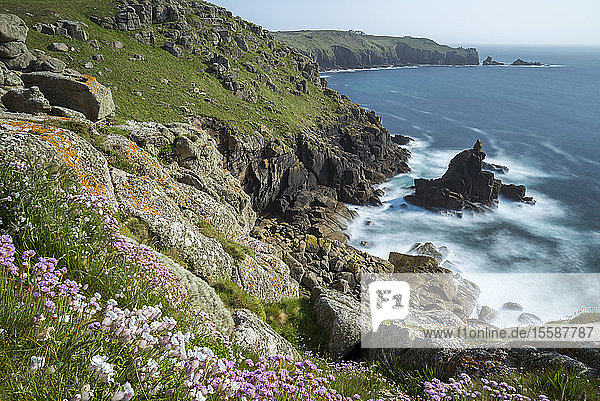 Wildflowers on the Cornish cliff tops near Sennen Cove  Land's End  Cornwall  England  United Kingdom
