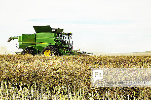 Side view of a farmer driving a combine during a canola harvest; Legal  Alberta  Canada
