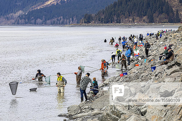People dipping for Hooligan in Turnagain Arm right next to the Seward Highway in South-central Alaska  South of Anchorage. The hooligan are migrating to their spawning grounds and the dippers are able to intercept some of them near the shoreline; Alaska  United States of America