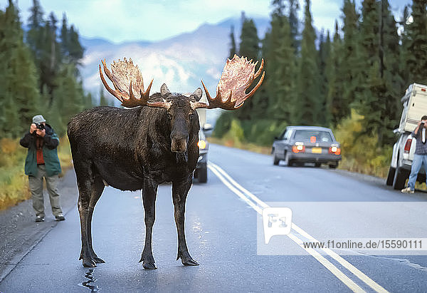 Bull Moose Blocking Traffic On Main Park Road In Denali National Park  Alaska