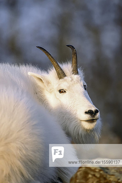 Mountain Goat Resting On Mountainside Fall Portrait