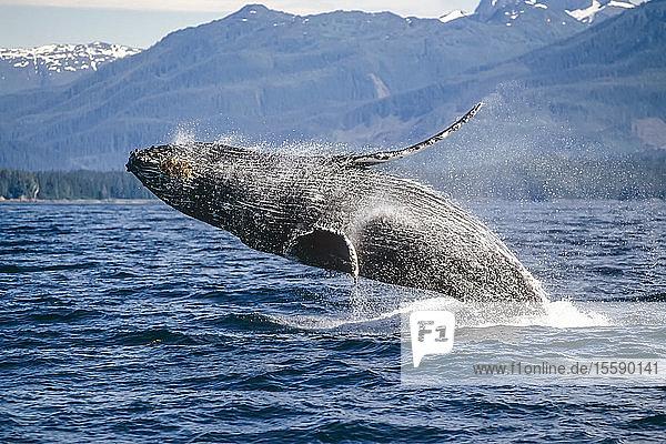 Fredrick Sound Southeast Alaska Humpback Whale Breeching Summer Scenic Mountains