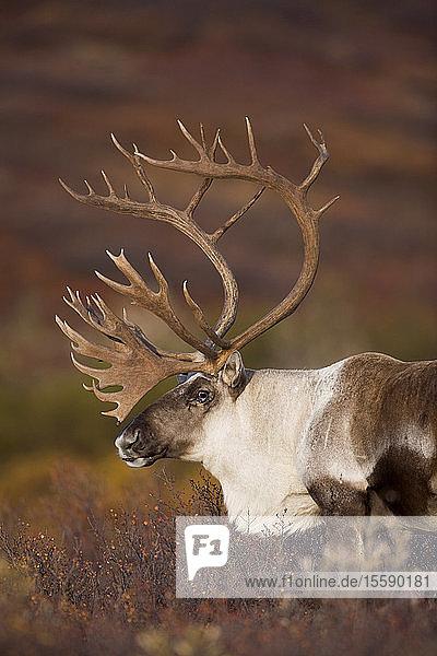 Bull Caribou On Autumn Tundra In Denali National Park  Interior Alaska