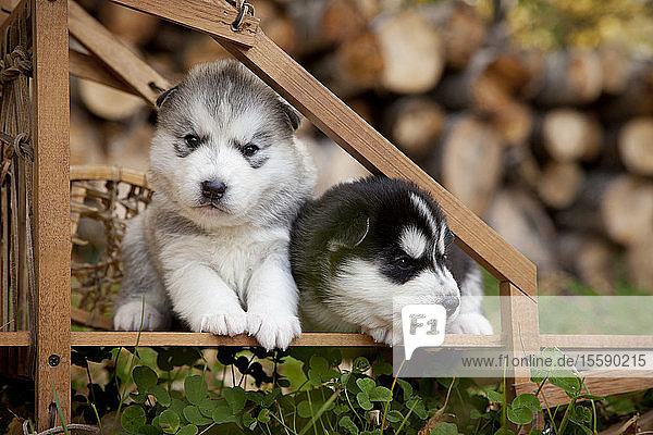 Siberian Husky Puppies In Traditional Wooden Dog Sled  Alaska