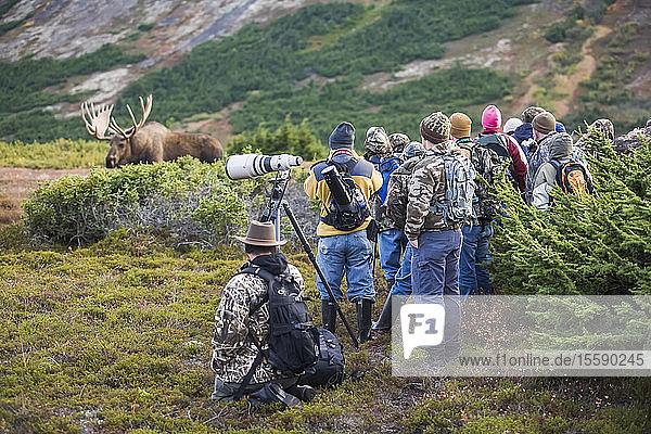People Watching Alaska Bull Moose At Close Range During The Rut  Powerline Pass  Chugach State Park  Chugach Mountains  Alaska