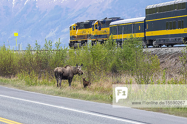Cow moose (Alces alces) with her newborn calf stand between the Seward Highway and the Alaska Railroad train tracks  South of Anchorage  South-central Alaska; Alaska  United States of America