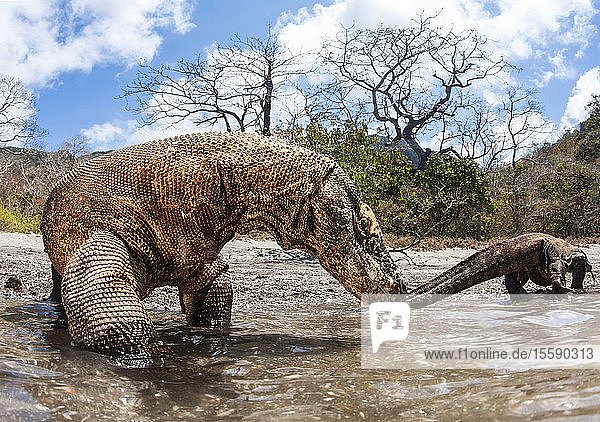 Komodo dragons (Varanus komodoensis),  are the world's largest lizards. This enormous reptile has venom glands,  which are loaded with toxins that lower blood pressure,  cause massive bleeding,  prevent clotting and induce shock; Bali,  Indonesia