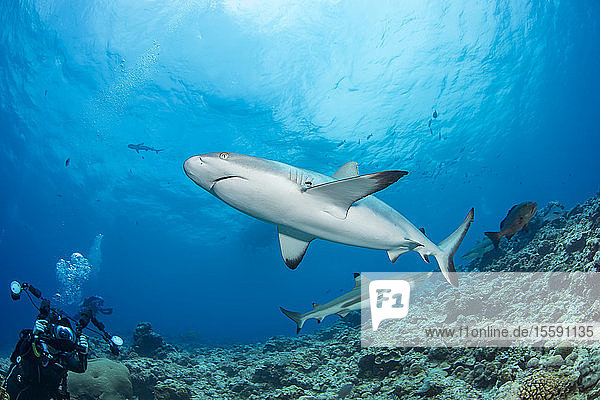 A photographer lines up on a gray reef shark (Carcharhinus amblyrhynchos) off the island of Yap; Yap  Micronesia