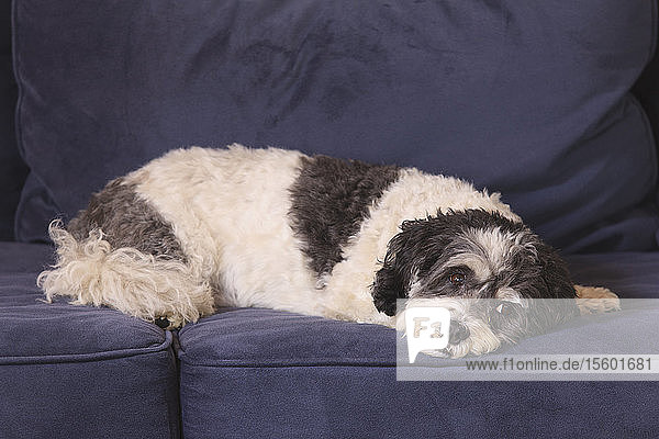 Service Dog resting on couch