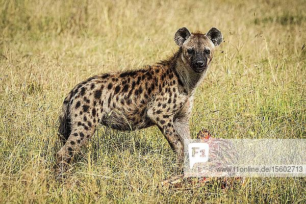 Spotted hyena (Crocuta crocuta) guards bloody carcase in grass  Grumeti Serengeti Tented Camp  Serengeti National Park; Tanzania