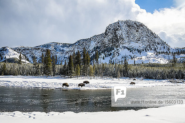 Winter landscape with American Bison (Bison bison) grazing along the banks of the Madison River in Yellowstone National Park; Wyoming  United States of America
