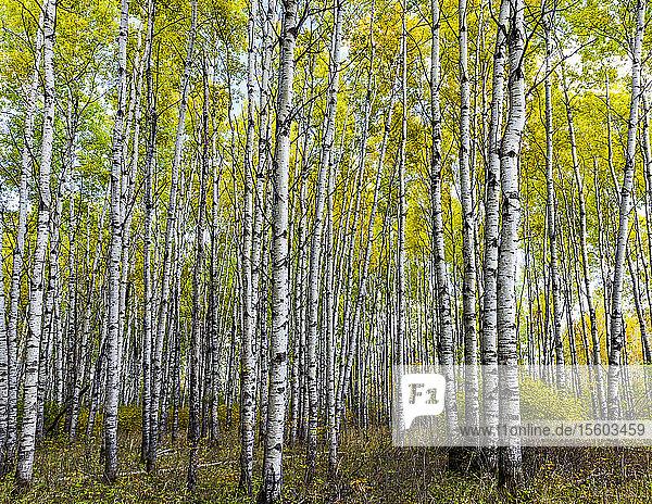 Aspen forest in autumn; Saskatchewan  Canada