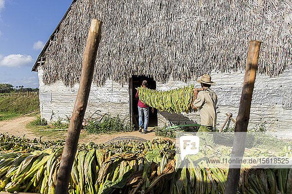 Zwei Männer tragen Tabakblätter in einer Plantage  Vinales  Provinz Pinar del Rio  Kuba