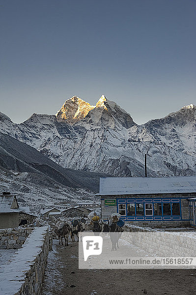 Laden yaks standing in mountain village at winter dawn  Solukhumbu  Nepal