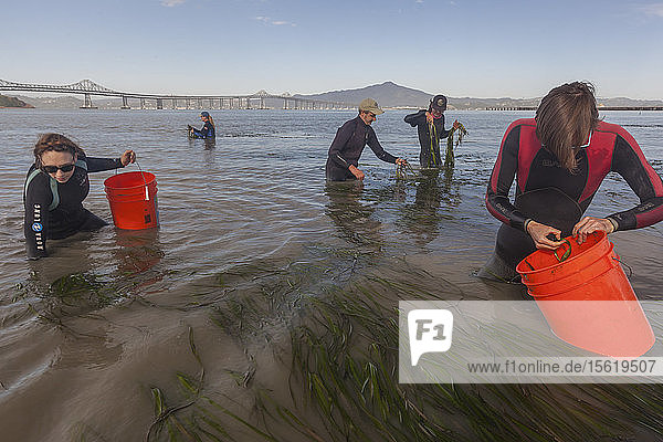 Five people collecting eelgrass for restoration in bay at Point Molate  California  USA