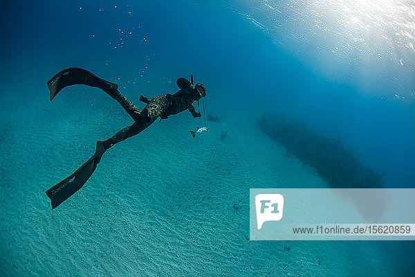 Diver spearfishing for barracuda in ocean  Clarence Town  Long Island  Bahamas