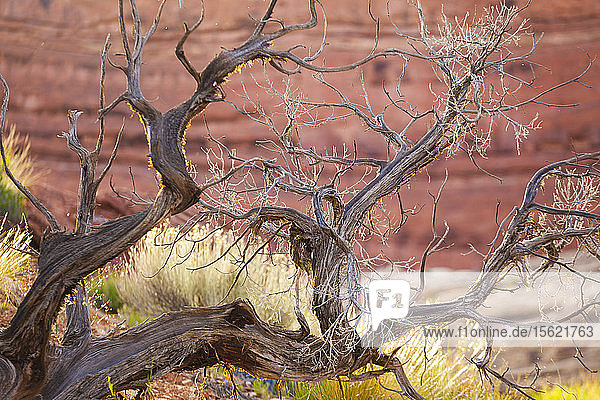 Twisted branches of sagebrush (Artemisia sp.) in Water Canyon  Canyonlands National Park  Utah.