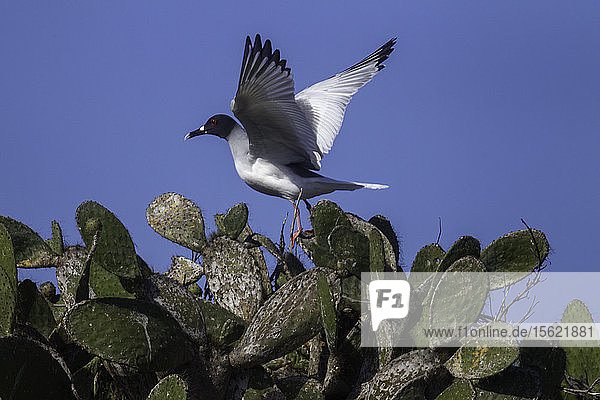 Swallow tailed gull  Prickly Pear Cactus  Genovesa Island  Galapagos Islands  Ecuador.