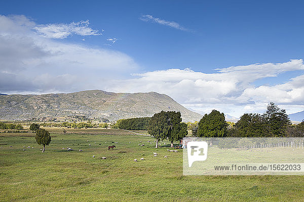 A horse and farm animals graze the grassy steppes of Chubut  Patagonia.