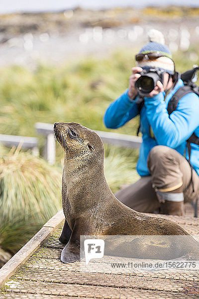 A female Antarctic Fur Seal (Arctocephalus gazella) on Prion Island  South Georgia  Southern Ocean  and a wildlife photographer.