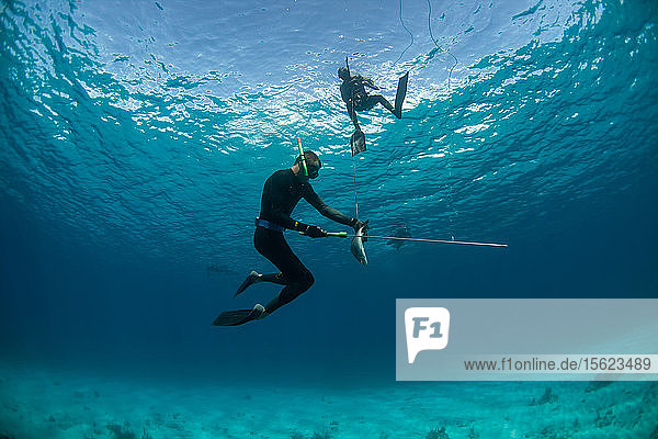 Two divers retrieving dead margate fish (of grunt family) while spearfishing. Sharks can be attracted by the dying fish  so divers often help each other and keep eyes out for other predators  Clarence Town  Long Island  Bahamas.