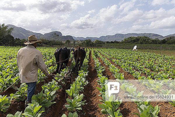 Farmer using cattle to plow vast tobacco field  Vinales  Pinar del Rio Province  Cuba