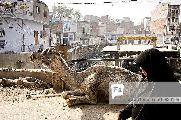 Eine mit einer Burka bekleidete Frau geht in den Straßen von Jaipur  Indien  an einem Kamel vorbei.