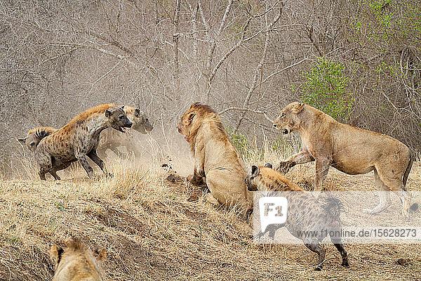 Tüpfelhyänen  Crocuta crocuta  greifen ein Löwenrudel an  Panthera leo