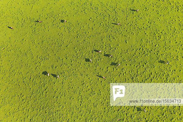 Luftaufnahme von Kühen  die auf Grasland weiden  Peretshofen  Deutschland