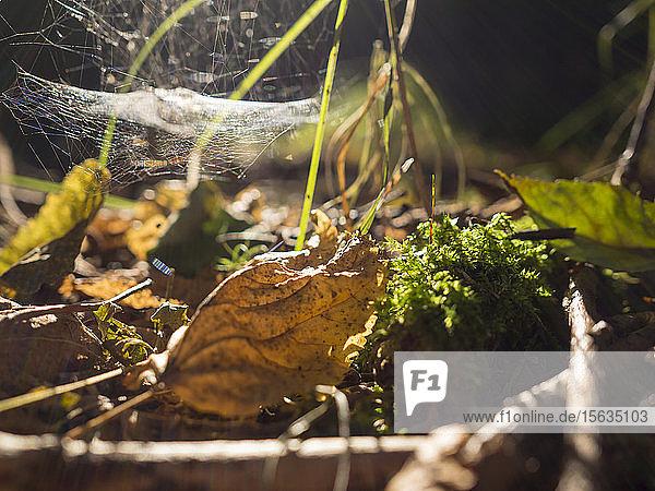 Deutschland  Bayern  Oberpfälzer Wald  verwelkte Blätter und Netz