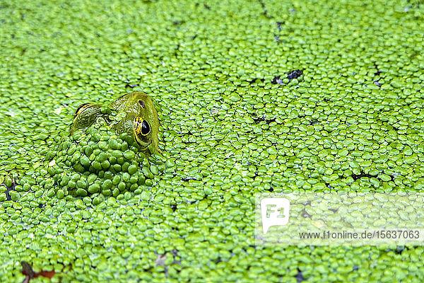 Nahaufnahme eines im Teich schwimmenden Frosches
