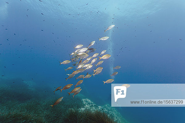 Goldstreifen schwimmen im Meer beim Tauchen auf der Seegraswiese  Calvi  Korsika  Frankreich