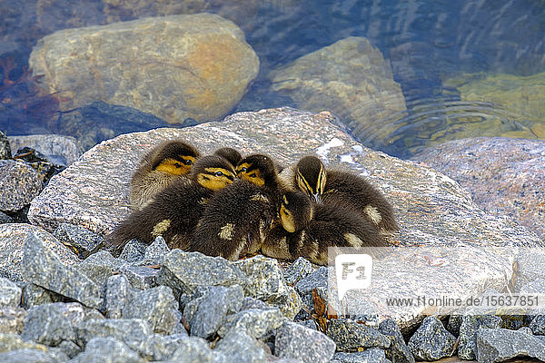 High angle view of ducklings on rock by lake