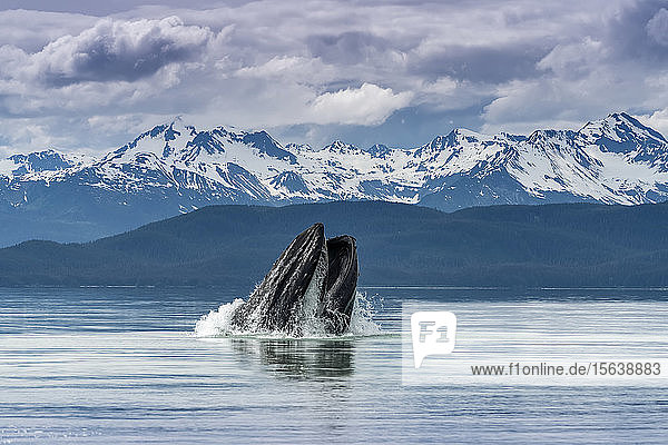 Humpback whale (Megaptera novaeangliae) lunge feeding for herring with a view of throat pleats  Inside Passage  Lynn Canal; Alaska  United States of America