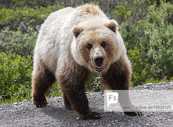 A light colored Grizzly bear (Ursus arctos horribilis) stares at the photographer who is in his car. Bears are a big draw for visitors here at this park  Denali National Park and Preserve; Alaska  United States of America