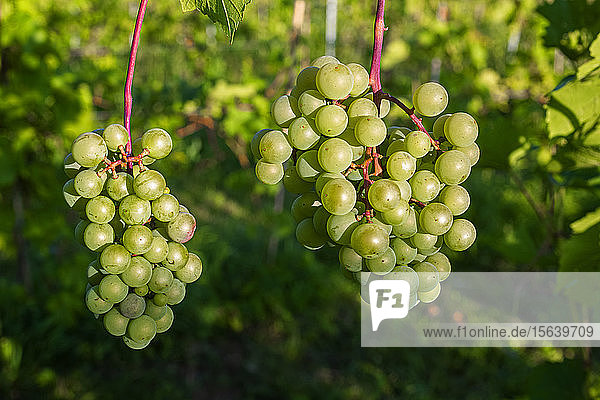 Green grapes ripening in clusters on a vine; Shefford  Quebec  Canada