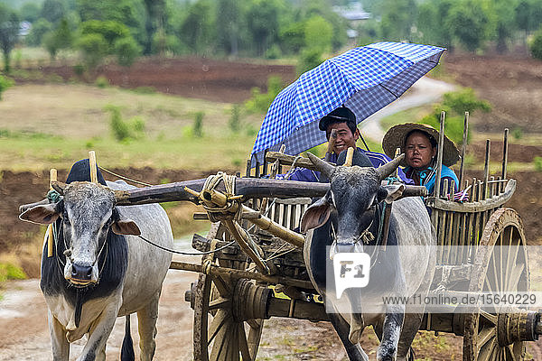 Young man and woman riding in a cart pulled by cows with yoke; Yawngshwe  Shan State  Myanmar