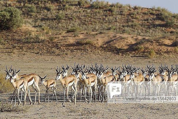 Springböcke (Antidorcas marsupialis)  Herde im trockenen Nossob Flussbett  Kalahari-Wüste  Kgalagadi Transfrontier Park  Südafrika