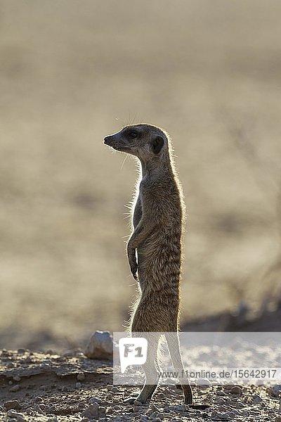 Erdmännchen (Suricata suricatta)  aufrecht stehend  Kalahari-Wüste  Kgalagadi-Transfrontier-Nationalpark  Südafrika