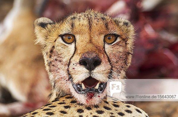 Gepard (Acinonyx jubatus)  Weibchen  Tierportrait mit blutigem Maul  Kalahari-Wüste  Kgalagadi Transfrontier Park  Südafrika
