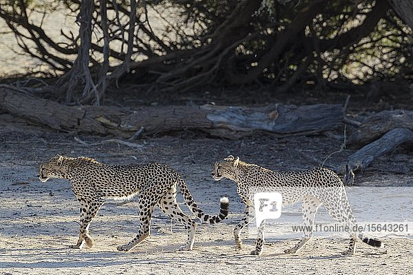 Geparden (Acinonyx jubatus)  zwei subadulte Männchen gehen im trockenen und kargen Auob Flussbett  Dürre  Kalahari-Wüste  Kgalagadi Transfrontier Park  Südafrika