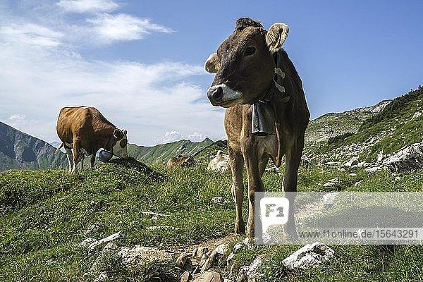 Kühe auf der Weide  beim Nebelhorn  Oberstdorf  Oberallgäu  Allgäu  Bayern  Deutschland  Europa