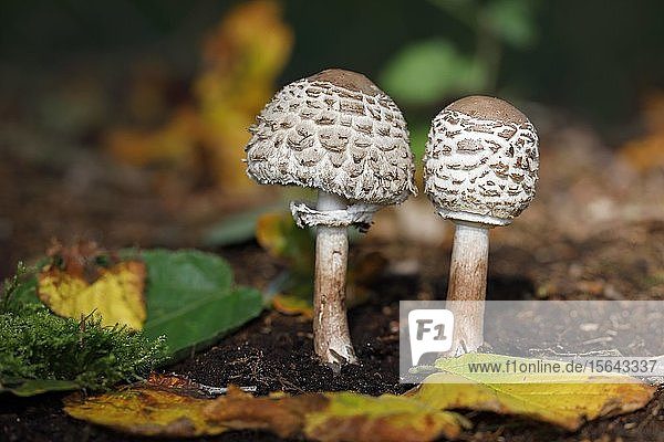 Gemeine Safranschirmlinge (Chlorophyllum rachodes) im Jugendstadium  Schleswig-Holstein  Deutschland  Europa