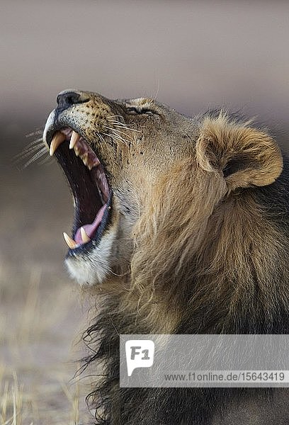 Kalahari-Löwe (Panthera leo vernayi)  Männchen  gähnend  Kalahari-Wüste  Kgalagadi Transfrontier Park  Südafrika