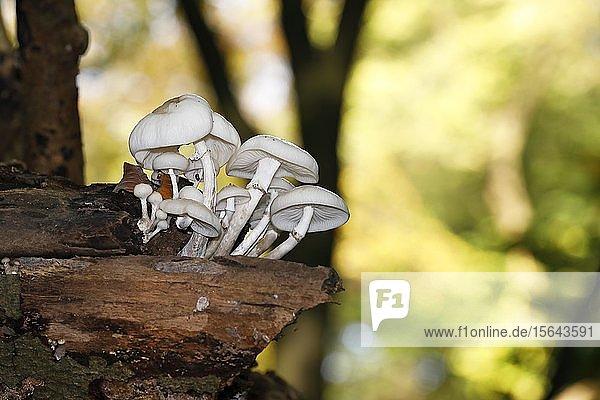 Buchen-Schleimrüblinge (Oudemansiella mucida) auf Ast einer alten Rotbuche (Fagus sylvatica)  Schleswig-Holstein  Deutschland  Europa