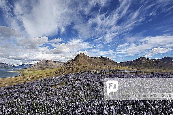 Ausblick auf Fjordlandschaft  vorne blau blühende Alaska-Lupinen (Lupinus nootkatensis)  Wolkenformation. bei Pingeyri  Westfjorde  Island  Europa