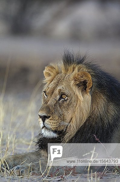 Kalahari-Löwe (Panthera leo vernayi)  Männchen  ruhend  Kalahari-Wüste  Kgalagadi Transfrontier Park  Südafrika