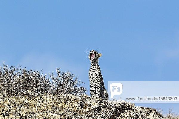 Leopard (Panthera pardus)  junges Weibchen gähnend auf einem felsigen Grat  Kalahari-Wüste  Kgalagadi Transfrontier Park  Südafrika