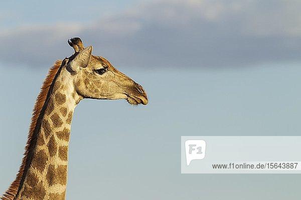 Kapgiraffe (Giraffa camelopardalis giraffa)  Weibchen  Tierportrait  Kalahari-Wüste  Kgalagadi-Transfrontier-Nationalpark  Südafrika