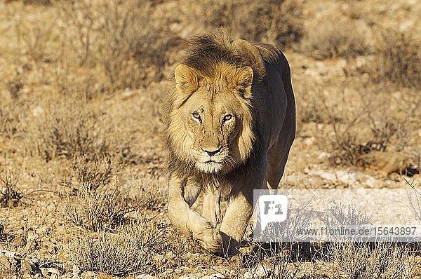 Black-maned lion (Panthera leo vernayi)  walking down a rocky slope  Kalahari Desert  Kgalagadi Transfrontier Park  South Africa  Africa